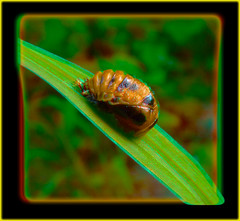 Ladybug Pupa 2 - Anaglyph 3D (DarkOnus) Tags: macro closeup insect stereogram 3d phone pennsylvania cell anaglyph stereo ladybug pupa stereography buckscounty pupae huawei mate8 darkonus