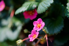 オランダイチゴ/Fragaria ananassa Duchesne (nobuflickr) Tags: flower nature japan kyoto 日本 花 thekyotobotanicalgarden 京都府立植物園 awesomeblossoms オランダイチゴ 20160522dsc09971 fragariaananassaduchesne バラ科オランダイチゴ属
