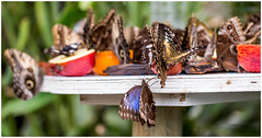 Room for one more ? (kevingrieve610) Tags: butterflies natural history museum exhibition insects nature flickr wow depth bokeh 6d ef100mm colourful
