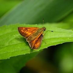 Sylvaine en robe mordorée *---* (Titole) Tags: orange green butterfly skipper papillon squareformat sylvaine favescontestwinner friendlychallenges titole nicolefaton