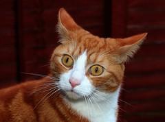 Charlie Boy (Stuart Axe) Tags: portrait pet cats pets face cat kitten expression kitty kittens charlie freddie marmalade polydactyl polydactylcat tomcat gingercat marmaladecat gingertom polydactyly hemingwaycat charlieandfreddie friendsofzeusphoebe