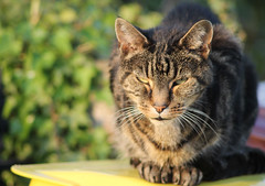 Waiting (Petleg9) Tags: old cat waiting tabby sunlit fella dustbin grouchy