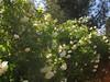 IMG_0526 (ceztom) Tags: city plant cemetery rose by garden square with native hamilton visit historic april sacramento 20 rosegarden cezanne perennials opengardens kathe 1000broadway april20 2013 930–200