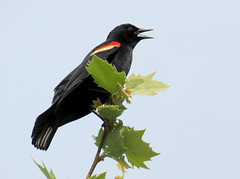 red-winged blackbird (natureburbs) Tags: bird nature birding blackbird redwingedblackbird colonialpark newjerseywildlife birdsinnewjersey