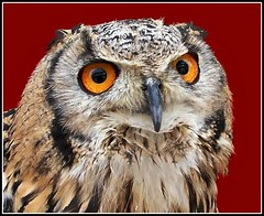 "Meet "" Pricilla "" .. (* Janets Photos *) Tags: uk birds cities hull owls birdsofprey closups takenwithlove mindigtopponalwaysontop lovelyflickr thegoldenachievement goldenachievement dreamlikephotos takenwithhardwork"