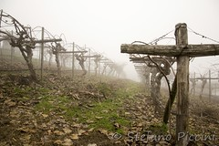 vineyard in the fog (itanu1978@gmail.com) Tags: morning autumn winter summer italy house tree green fall nature field grass fog rural season landscape countryside vineyard spring italian scenery europe view wine farm country hill seasonal scenic meadow sunny scene farmland winery valley tuscany mysterious cypress produce agriculture typical hillside pastoral picturesque grape crisis viticulture tuscan