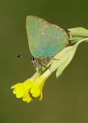 Green Hairstreak Callophrys rubi (Iain Leach) Tags: butterfly insect image wildlife lepidoptera photograph lycaenidae greenhairstreak birdphotography wildlifephotography callophrysrubi