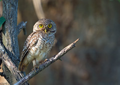 Spotted Owlet - Athene brama (Andy_LYT) Tags: bird thailand nikon spotted owlet 600mm athenebrama