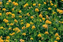 L'apparenza inganna... (Emilio Panozzo) Tags: macro canon natura prato fiorigialli