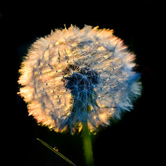 Sunset dandelion (Channed) Tags: sunset sun ny sunshine square evening belgium ardennen dandelion clear hotton paardenbloem blaasbloem chantalnederstigt