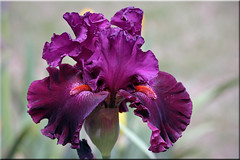 Magenta Iris (gtncats) Tags: flowers iris nature closeup beardediris photographyforrecreation