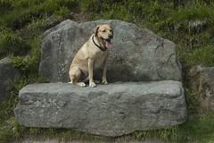Steinbank (drloewe) Tags: dog animal labrador hund steinbank lasko mummelsee