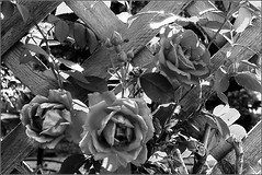 Roses on the Trellis (joeldinda) Tags: flowers bw rose garden trellis joeldinda c50