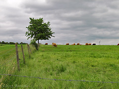Landscape ( Annieta ) Tags: sky holiday juni clouds canon germany landscape cow vakantie meadow powershot eifel lucht allrightsreserved weiland duitsland landschap koe leiwen moseltal 2013 annieta mygearandme sx30is usingthispicturewithoutmypermissionisillegal