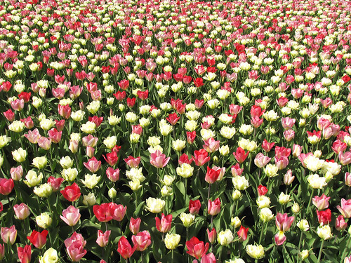 Tulips everywhere!