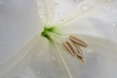 Datura Interior (inthepotter'shands) Tags: white flower interior inside datura moonflower