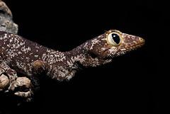 Strophurus ciliaris (Scaly Face Photography) Tags: reptile australian australia lizard gecko lizards geckos reptiles ciliaris strophurus