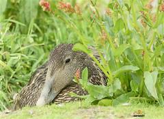 Eider on a nest of down (sarniebill1) Tags: copyright fife down full sanctuary eider eiderdown nesting firthofforth isleofmay eiderduck birdnaturereserve nigelwedge