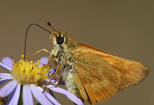 Photo - close up of a skipper butterfly nectaring at a smooth aster.