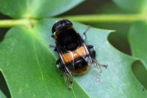 自然環境保全センターのオオハナアブ(Horsefly, Nature Environment Preservation Center, Kanagawa, Japan)