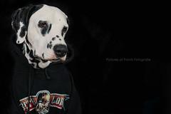The Padawan (bea.fotografie) Tags: portrait dog pet pets canon starwars mark iii indoor hund 5d shooting 40 pancake mm ef darkside dalmatian sith padawan dalmatiner petphotography sithlord darkone petphotographer canon5dmarkiii
