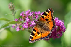 Small Tortoiseshell (GreenDreamsPhotography) Tags: summer butterfly garden buddleia zomer tuin kleinevos smalltortoiseshell vlinder vlinderstruik buddleja pentaxk5