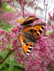 Butterflys (Bakelaar en Waardenburg) Tags: flowers summer flower butterfly garden season fotografie seasons tuin bloemen kleinevos vlinder vos kleine eupatorium flowerphotography leverkruid bakelaarenwaardenburg bloemenfotografie