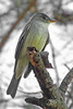 Eastern Wood-Pewee (Contopus virens) (ninjabirder) Tags: nature canon ga georgia migration flycatcher easternwoodpewee contopusvirens richmondcounty 2013 hephzibah canonsx20is canonpowershotsx20is contopusviren liamwolff