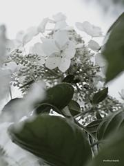 DSC_5919 (Roelofs fotografie) Tags: flowers summer white plant flower nature dutch photoshop nikon natuur zomer wit bloemen wilfred bloem d3200 roelofs