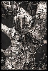 Texture (d-k-t) Tags: blackandwhite platinum efex img9925
