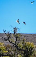 White Tailed Kites - Tolay Lake Regional Park (Dunby PICS) Tags: california ranch park county lake photo sonoma pic lane cannon petaluma regional 2013 specanimal tolay cordoza dunby httpparkssonomacountycagov parkssonomacountycagov