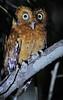 Sokoke Scops Owl rufous morph (Rainbirder) Tags: kenya gedi watamu arabukosokokeforest sokokescopsowl otusireneae rainbirder