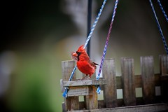 little red corvette (guy with cameras) Tags: winter red wild male bird wings eyes cardinal florida fear feathers sunflowerseed inglis topazlabs