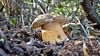 Boletus Aereus (enr89pani) Tags: sardegna funghi boletus porcino