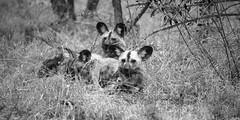 ADS Ngala wild dog groupe 3 NB (my-northlands.com) Tags: wild nature canon johannesburg afrique ngala afriquedusud lostworldpics kyshna