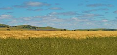 Plentiful (Celeste005) Tags: landscape spring wheat harvest australia bluesky hills fields crops grasses paddocks