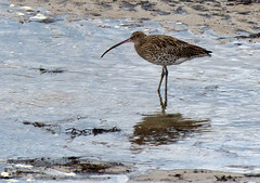 Anstruther Curlew (geoffspages) Tags: beach geotagged scotland fife anstruther curlew geo:lat=5622229949058139 geo:lon=2700984477996826