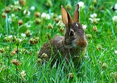 Safety Check (Harry Lipson III) Tags: brown rabbit bunny green nature grass eyecontact clover mothernature bunnyrabbit cleareyed cutenose safetycheck makingeyecontact harrylipsoniii harrylipson harryshotscom harrylipson3 visitharryshotscom cautiouspause iinviteyoutovisitmywebsiteharryshotscom theunsungphotographer theunsungphotographercom totalslackerphotographycom totalslackerphotography thephotographyofharrylipson