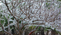 Ice Storm part II (The Wild Roam Free) Tags: tree ice texas icestorm coating icesickles