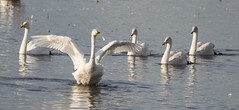 Introducing...-8575 (WendyCoops224) Tags: family canon eos stretch swans flap wwt glide welney whooper 600d 100400mml