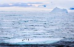 Ice Ship for Penguins (Roaming the World) Tags: penguin antarctica fastice adeliepenguin weddellsea antarcticsound
