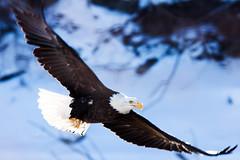 IMG_3695 (judd.furlong) Tags: iowacity canoneos eagles