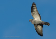 J77A9325 -- A Dove in flight (Nils Axel Braathen) Tags: france nature birds canon wildlife 1001nights fugler oiseaux levésinet vogeln canon5dmarkiii 1001nightsmagiccity mygearandme