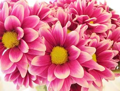 Pretty Pink Explosion (bigbrowneyez) Tags: pink flowers hot nature beautiful dof bright gorgeous details rich blossoms explosion natura fancy stunning bunch bouquet fiori delicate striking belli bellissimi flasy prettypinkexplosion