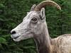Canadian Celebrity (rowjimmy76) Tags: summer mountains nature animal canon mammal outdoors hiking horns goat powershot jaspernationalpark g11 canadianrockies