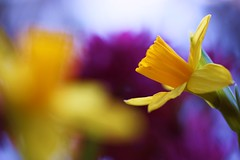 Yellow Daffodils (j man.) Tags: life lighting friends light flower color macro art texture nature floral colors beautiful yellow closeup composition lens photography cool focus flickr dof blossom bokeh pov background sony details favorites clarity blurred 11 depthoffield pointofview sp ii views di if f2 tamron daffodils comments ld slt foreground jman macrophotography ruleofthirds af60mm mygearandme flickrbronzetrophygroup a65v {vision}:{mountain}=0528 {vision}:{sunset}=0602 {vision}:{sky}=0721 {vision}:{outdoor}=056 {vision}:{plant}=08 {vision}:{flower}=0636