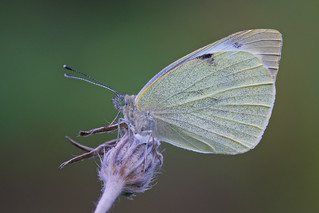 Pieris Brassicae (Large White, Groot koolwitje)