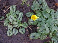 In garden (Julie70 Joyoflife) Tags: flowers london spring fevrier photostroll photojuliekertesz midfebruary springwalksinlondon springflowersinfebruary