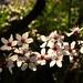 Flor de almendro Quinta de los Molinos