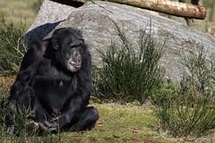 Safari Park Beekse Bergen – Hilvarenbeek, The Netherlands – 2014 03 09 – 10 – Copyright © 2014 Ivan Coninx (Ivan Coninx Photography) Tags: holland photography zoo chimp nederland thenetherlands safari chimpanzee safaripark beeksebergen hilvarenbeek ivanconinx ivanconinxphotography